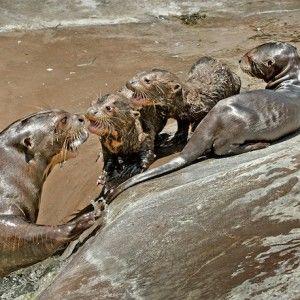 Малюків гігантської видри вперше показали відвідувачам зоопарку в Лос-Анджелесі (ВІДЕО)