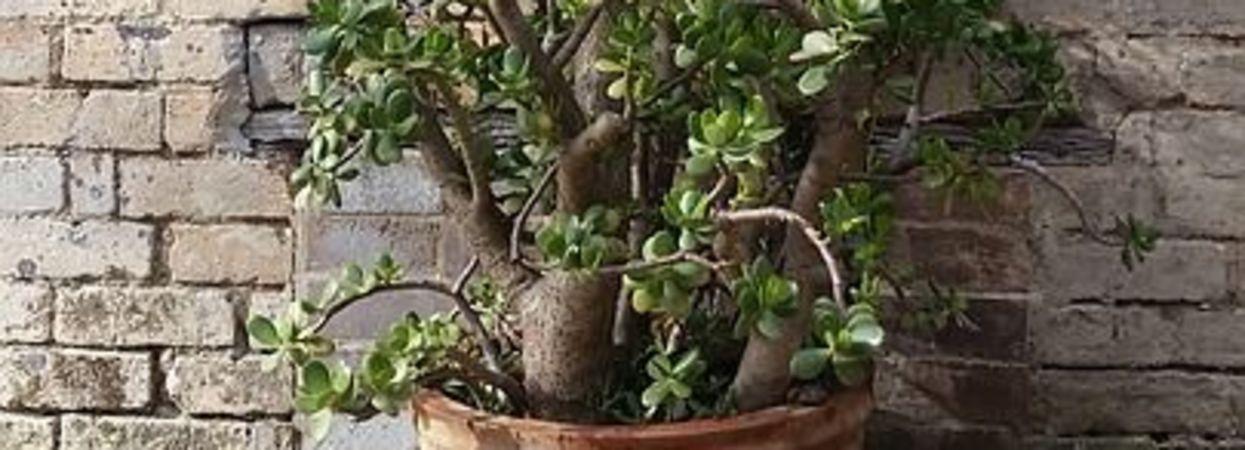 Грошове дерево  Як доглядати та цілющі властивості рослини 6ffa26f5cb27b