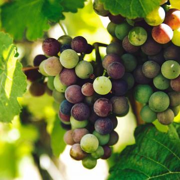 Сезон винограду: Який сорт найбільш корисний