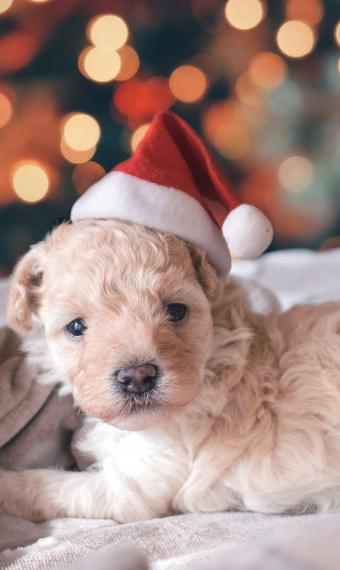 на фото новорічне цуценя