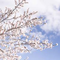дерево цвіте
